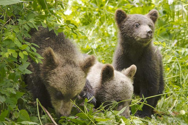 Jeunes ours