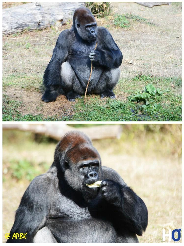 Le chef de clan des Gorilles
