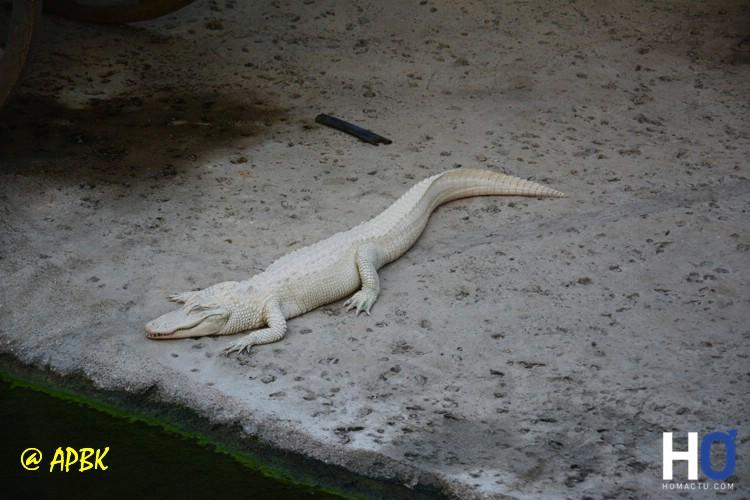 Alligator blanc