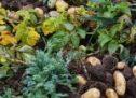 La récolte de la pomme de terre primeur dans le Finistère.