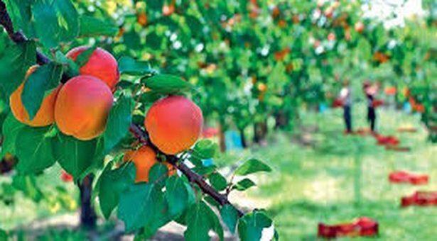 L'abricot rouge du Roussillon est arrivé !
