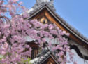 Kyoto, à la saison des sakura