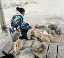 Okunoshima, l'île aux lapins